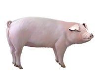 Grande maiale adulto Fotografia Stock Libera da Diritti