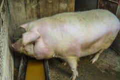 Grande maiale bianco Fotografia Stock Libera da Diritti