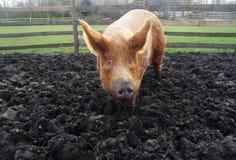 Grande maiale fangoso Fotografia Stock Libera da Diritti