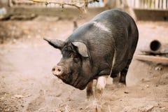 Grande maiale nero della famiglia in azienda agricola La suinicoltura sta alzandosi e crescendo Fotografia Stock