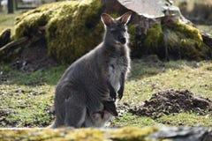 Grande maman brune de kangourou avec un bébé mignon dans son sac Image libre de droits