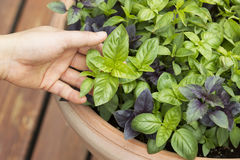 Grande manjericão fresca e saudável da folha no potenciômetro na plataforma fotos de stock royalty free
