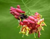 Grande manosee la abeja Foto de archivo libre de regalías