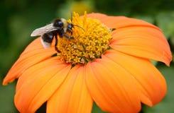 Grande manosee la abeja Fotografía de archivo libre de regalías