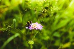 Grande manosee la abeja en el trébol rosado Fotografía de archivo libre de regalías