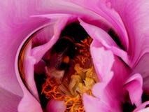 Grande manosee la abeja en foto rosada de la macro de la peonía Foto de archivo libre de regalías