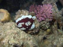 Grande Mar Rosso raro di Pleurobranch Immagine Stock Libera da Diritti