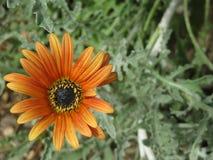 Grande margherita arancio Fotografie Stock Libere da Diritti