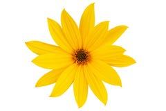 Grande marguerite-fleur jaune   Photos stock