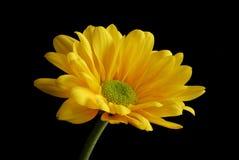 Grande marguerite jaune Image libre de droits