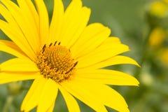 Grande marguerite jaune Images stock