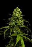 Grande marijuana Bud Growing sur l'usine de cannabis avec le fond noir Photo libre de droits