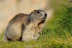 Grande marmotta alpina Fotografie Stock