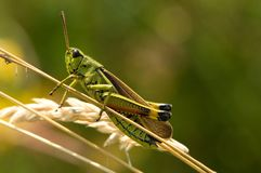 Grande Marsh Grasshopper, Moerassprinkhaan, grossum di Stethophyma fotografia stock