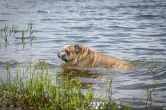 Grande maschio del bulldog inglese Immagine Stock