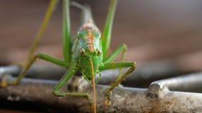 Grande maschio verde della locusta video d archivio