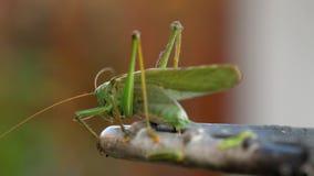 Grande maschio verde della locusta stock footage