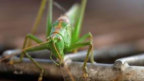 Grande maschio verde della locusta archivi video
