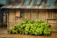 Grande mazzo di banane Fotografie Stock Libere da Diritti