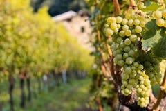 Grande mazzo di uva bianca sulla vite Raccolto di autunno dell'uva Lat dell'uva VÃtis ha chiamato la bacca di vita immagine stock