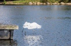 Grande mergulho do Egret foto de stock