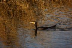 Grande mergulho preto do cormorão para peixes no delta de Danúbio Fotografia de Stock Royalty Free