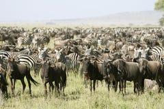 A grande migração fotografia de stock royalty free