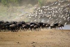 Grande migração de Kenya fotografia de stock royalty free