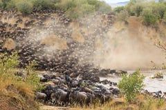 Grande migração em África Rebanhos enormes dos herbívoros Rio de Mara, Kenya foto de stock