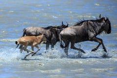 A grande migração - gnu com a vitela que cruza o rio imagens de stock royalty free