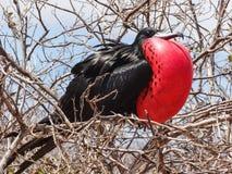Grande minore del fregata di frigatebird sull'isola galapagos di genovesa nazionale fotografie stock