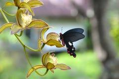 Grande moinho de vento da borboleta vermelha bonita Fotos de Stock
