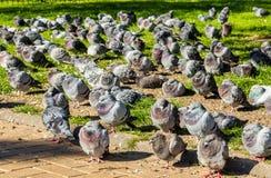 Grande moltitudine di riposo dei piccioni selvaggi Immagine Stock