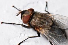 Grande mosca Immagini Stock