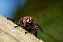 Grande mosca che si siede su una rete fissa di legno Fotografie Stock