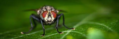 Grande mosca da casa fotografia de stock