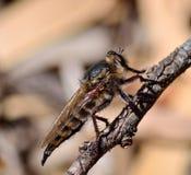 Grande mosca di ladro in priorità alta Fotografia Stock Libera da Diritti