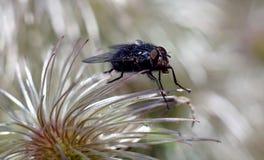 Grande mosca nera sul fiore bianco lanuginoso Fotografie Stock Libere da Diritti