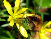 Grande mouche d'abeille (commandant de Bombylius) photographie stock