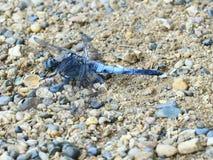 Grande mouche de dragon de noir bleu Photos stock