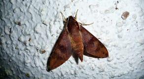 Grande mouche de nuit sur le mur en français la Polynésie française photographie stock