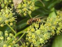 Grande mouche de vol plané étroite sur des insectes d'automne de fleur Image stock