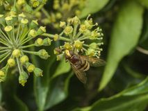 Grande mouche de vol plané étroite sur des insectes d'automne de fleur Images libres de droits