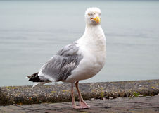 Grande mouette Images stock