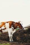 Grande mucca Fotografia Stock