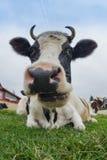 Grande mucca immagini stock libere da diritti