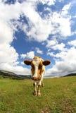 Grande mucca fotografata con un fish-eye Immagini Stock Libere da Diritti