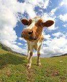 Grande mucca fotografata con un fish-eye Immagine Stock Libera da Diritti