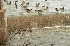 Grande número de carpa que alimenta no vertedouro Fotografia de Stock Royalty Free