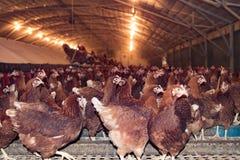 Grande número de galinhas em uma exploração avícola imagem de stock royalty free